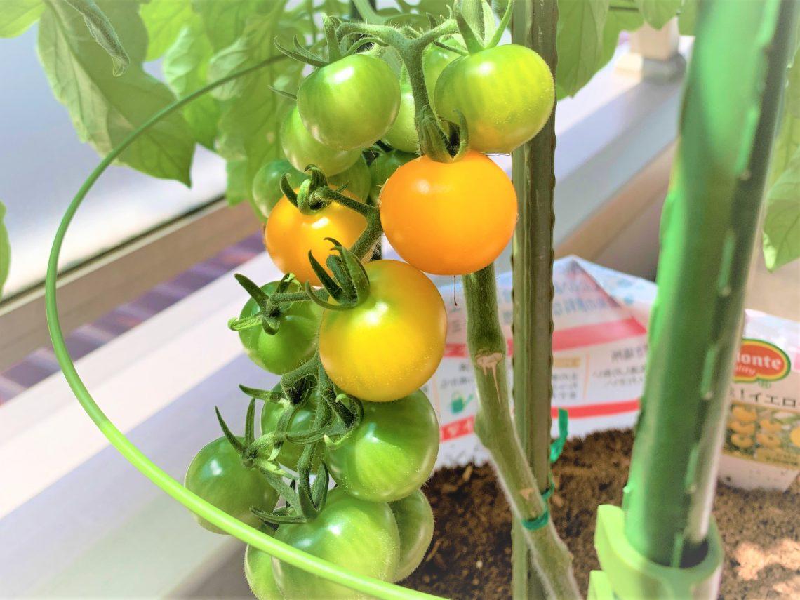 ベランダのトマト